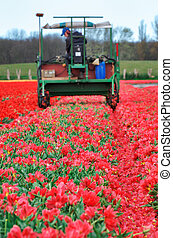 Tractor harvest red tulips on field