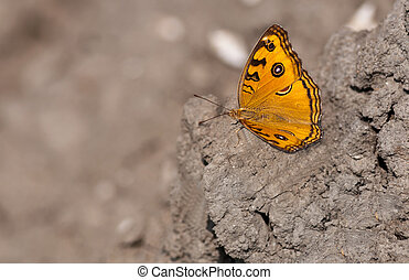 Peacock Pansy, Junonia almana, butterfly sitting on dried...