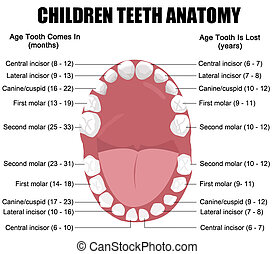 Anatomy of children teeth shows eruption and shedding time,...