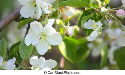 Apple-tree flowers close up