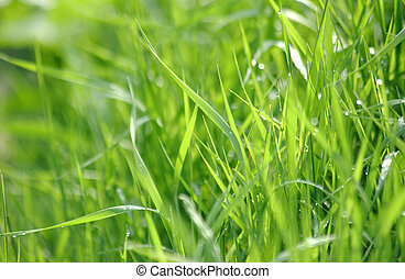 Green grass with water drops - Green grass with water drops...