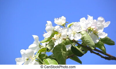 Apple-tree flowers against the blue sky