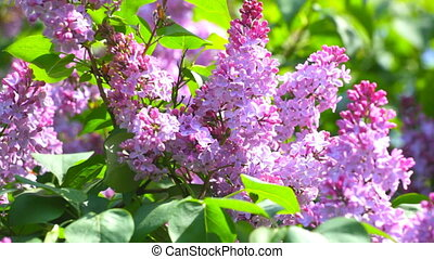 Lilac branches on a green background