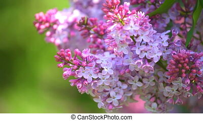 Lilac branches on a green backgroun