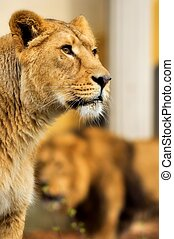Leeuwen lions - Twee leeuwen houden alles in de gaten Two...