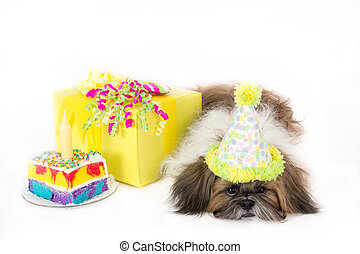 Birthday Doggy - An exhausted Shih Tzu wearing a party hat...