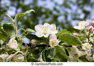 The branch of a blossoming apple tree with green leaves
