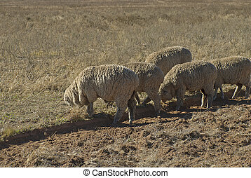 mammal - five sheep grazing in a farm paddock