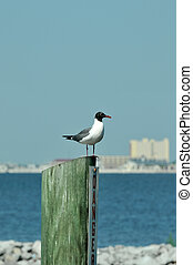 Laughing Gull sitting on a piling at Biloxi Beach,...