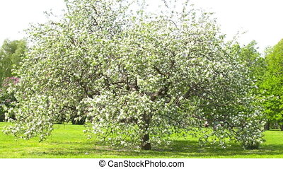 Big blossoming apple-tree in park in windy weather