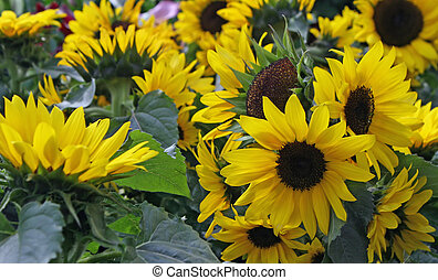 yellow sunflowers for sale by a florist in a nursery of flowers