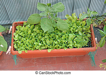 fresh green salad grown on a vegetable garden in a balcony...