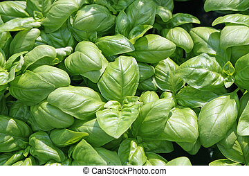 fragrant basil leaves for flavour in cooking