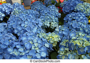 hydrangeas for sale by a florist in a nursery of flowers