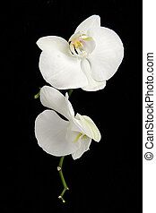 White phalaenopsis orchid flowers against black background