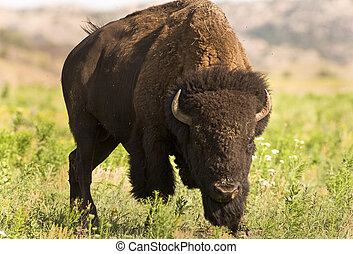 Buffalo on the run. - Buffalo on the range outside Lawton,...