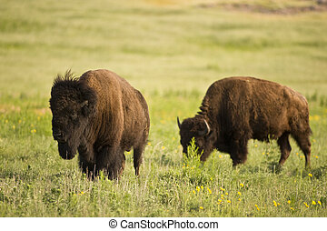 Buffalo on the range outside Lawton, Oklahoma
