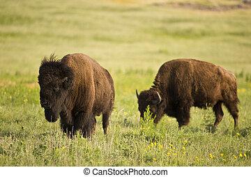 Buffalo on the range outside Lawton, Oklahoma.