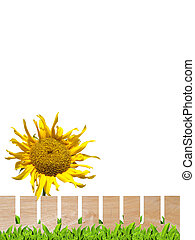 Sunflower and wooden fence - Beautiful sunflower with wooden...