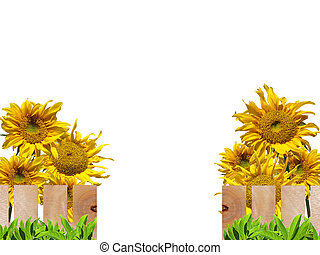 Sunflowers and wooden fence - Beautiful sunflowers with...