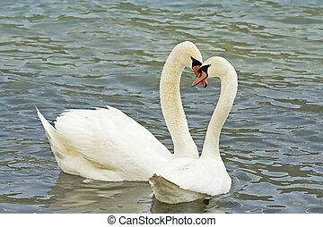 the swans  - swans in love in the lake