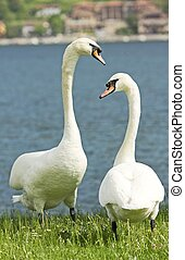 swans in love in the grass