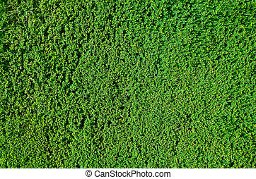Hedge background - Tightly cropped border hedge texture or...