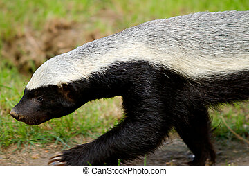 honey badger on the move