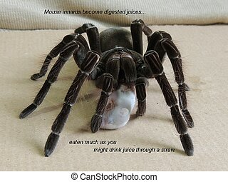 Blondi Goliath Tarantula Dining - Theraphosa blondi...
