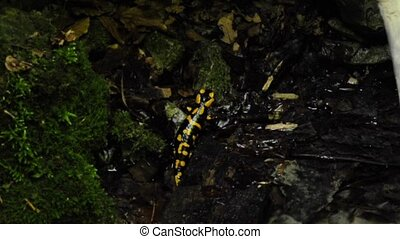 salamander at a wild creek