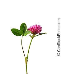 Red clover Trifolium pratense
