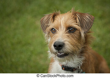 Sweet adopted Terrier puppy - Close up color image of an...