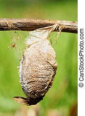 cecropia,  moth, casulo