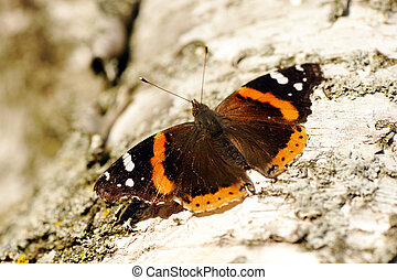 Red admiral butterfly - Beautiful red admiral butterfly,...