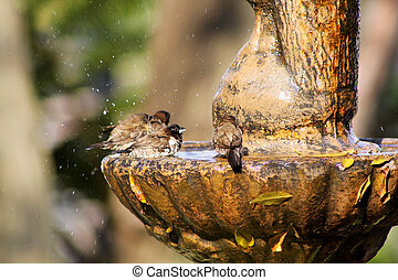 Mossies Afternoon Bird Bath Bathing - Small Mossie Birds...