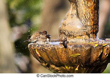 Mossies Afternoon Bird Bath Bathing - Small Mossie Birds...