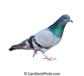 Pigeon - Common Rock Pigeon Columba livia on a white...