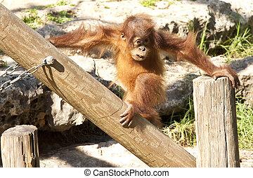 orangutan - baby orangutan get playing