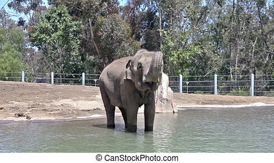 Elephant in water in the zoo
