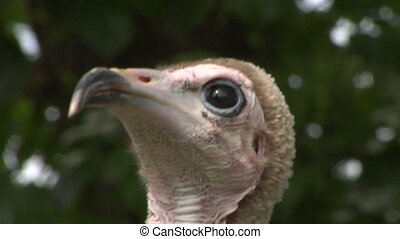 hooded vulture close up 01