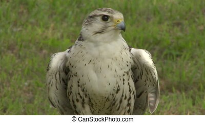 saker falcon close up 02 - Saker Falcon portrait