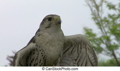 saker falcon close up 01 - Saker Falcon portrait