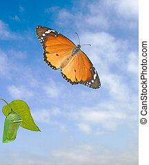 Monarch butterfly and pupae isolated on white background