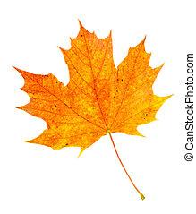 Orange maple leaf fall colors