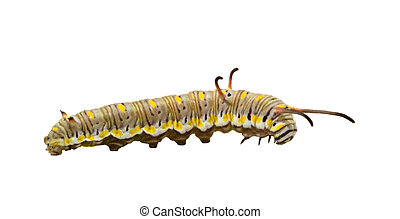 Caterpillar isolated on white background