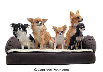 chihuahuas on sofa - cute chihuahuas on a sofa in front of...
