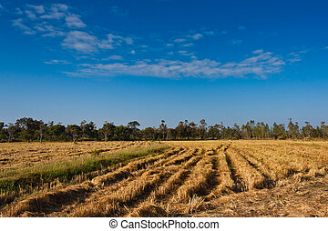 Paddy rice field after harvesting with blue sky