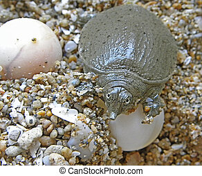 Baby soft-shell turtle and eggs...