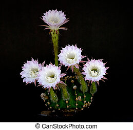 Easter lily cactus - An Easter lily cactus with a flower