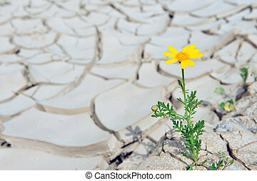 Dry Cracked Earth - Drought - Yellow daisy flower growing...